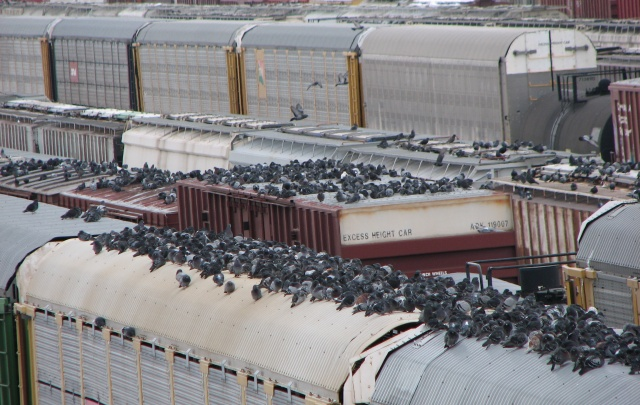 Pigeons on freight cars
