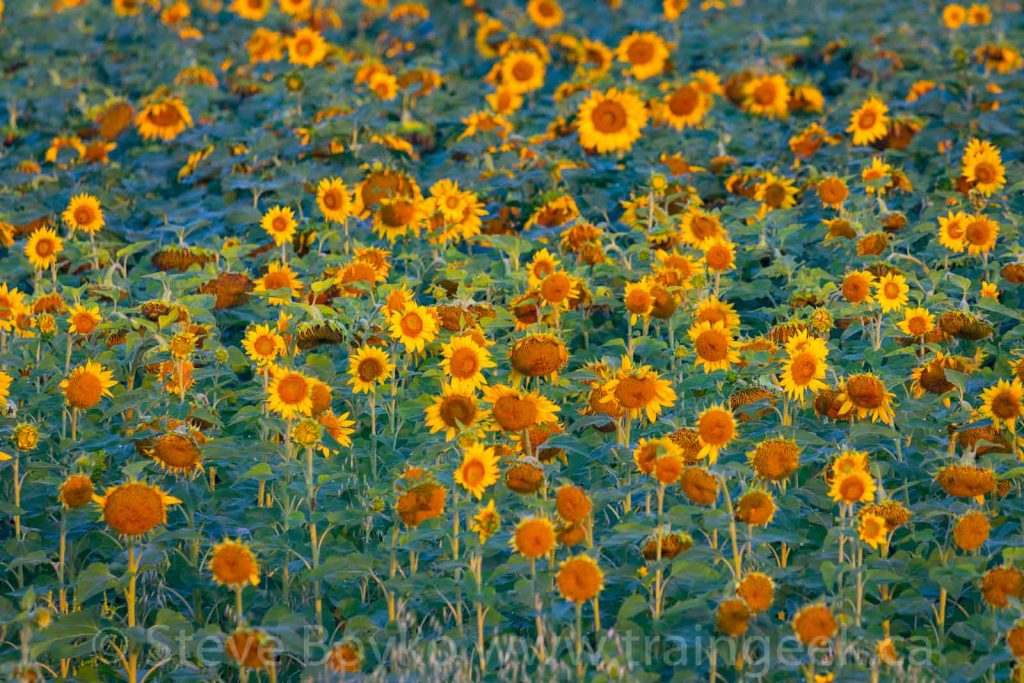 Sweet, sweet sunflowers