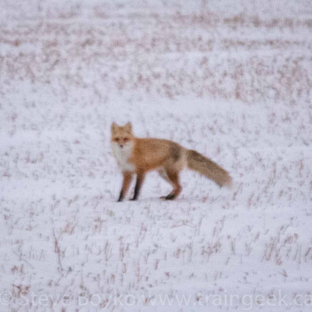 A very grainy fox